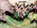 Piaranthus comptus   -  1 tallo