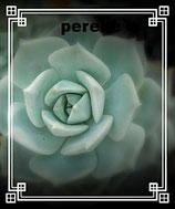 Graptoveria cv. Titubans     ------ Graptopetalum paraguayense x Echeveria derenbergii