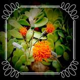 Senecio jacobsenii - bálsamo pendente  - tallo 8cm de planta madre