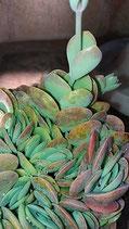 ·  Kalanchoe rotundifolia