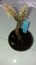 Senecio leptophyllum   forma de caudex