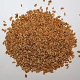 Weizen volles Korn