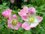 Rose Musquée (Rosa rubiginosa)