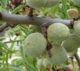 Amande Douce (Prunus amygdalus)