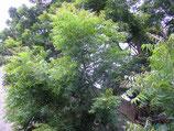 Neem (Azadirchta indica) : arbre indien