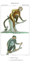 Quadrumani •  da un'antica enciclopedia