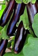 Aubergine longue violette