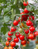 Miel du Mexique (tomate cerise rouge)