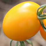 De bérao Gold (petite tomate jaune type roma)