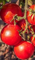 Belle Angevine (Petite tomate rouge)