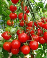 Muchacha (tomate cerise rouge)
