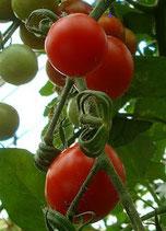 Fakel  (tomate cerise rouge)