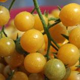 Bianca (tomate cerise blanche)