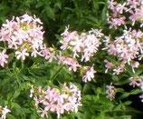 Saponaire (herbe à savon)