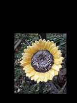 Sonnenblume Sunny