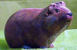 Meerschweinchen Schnucki