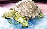 Schildkröte Lela