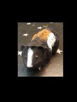 Rosettenmeerschwein Mia