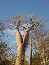 Baobab Corsage - Blouse Baobab tree