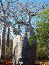 Baobab Nain- Dwarf Baobab tree