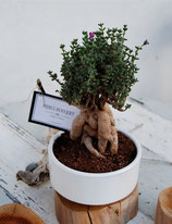 Bonsai Africano. 18-25 cm de altura con maceta