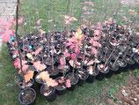 Elsbeere (Sorbus torminalis) im Rosentopf