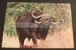 AK Büffel - Kenia ng