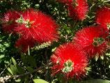 Каллистемон прутовидный  Красный