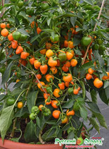 Перец сладкий F1 Трюфелек оранжевый