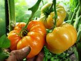 Помидор Крупноплодный — Amana Orange