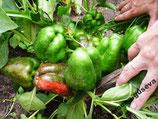 Сладкий Перец — Урожайный Гусева