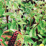Лаконос ягодный  (ФИТОЛАККА)