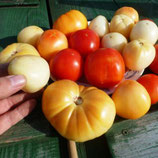 -Помидоры Честное Слово Ливингстона — Livingston's Honor Bright Tomato