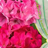 Пеларгония зональная ДИНАСТИЯ фиолетово-розовая
