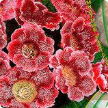 Глоксиния Импресс Красные чернила