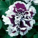 Петуния махровая крупноцветковая F1 Пируэт фиолетовый с белым