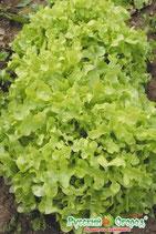 Салат листовой ВОСХИТИТЕЛЬНЫЙ (вкуснятина)