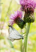 Postkarte-Schmetterlinge