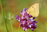 Postkarte-Schmetterling