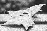 Postkarte-Herbstblatt schwarzweiss