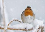 Postkarte Rotkelchen im Schnee