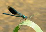 Postkarte-Blauflügel Libelle