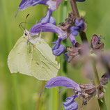 Frühlingsgruss Schmetterling