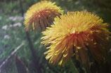 Wildkräuter(n): Kräuter(n) im Frühling
