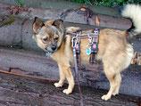 SICHERHEITSGESCHIRR SOFTY MEDIUM: 25 mm Gurtband Breite mit Mesh unterfüttert für mittelgroße Hunde.
