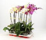 adozione orchidea v12