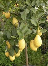 adozione limone v30