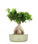 adozione bonsai v16