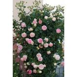 adozione rosa rampicante v22