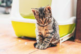 In huis plassen kat